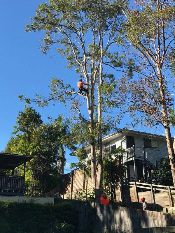 Brisbane Arborist removing tree